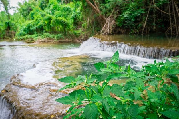 Grüne paprikapfeffer auf dem baum mit wasserfallhintergrund