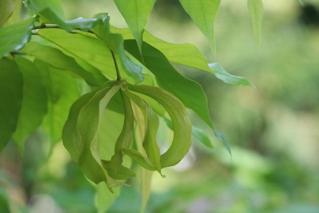 Grüne parfümfarbe der ylan ylang-blume natürliche auf baumhintergrund