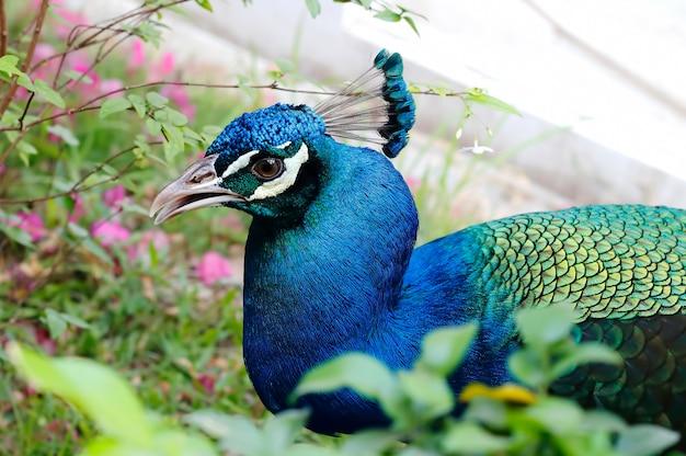 Grüne peafowl pavo muticus schöne vögel von thailand