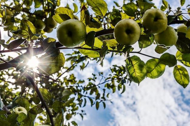 Grüne reife äpfel auf einem ast auf einem hintergrund von himmel und sonne, die durch die blätter scheinen