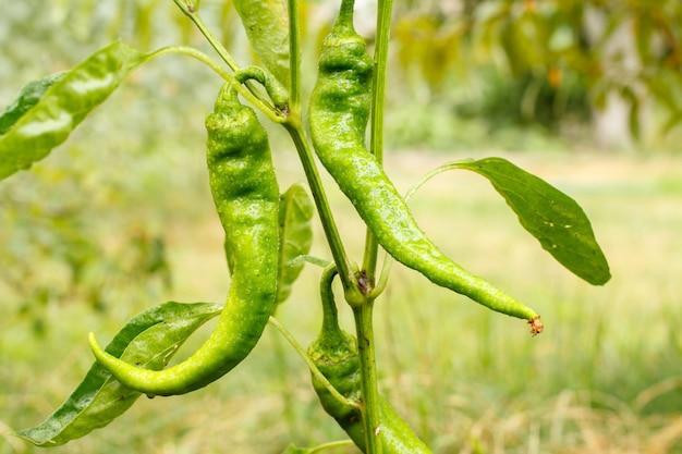 Grüne reifende chilischoten auf einem busch mit dem garten im hintergrund. bio-lebensmittel aus eigenem anbau, paprika oder paprika, die im garten reifen. unscharfer natürlicher hintergrund.