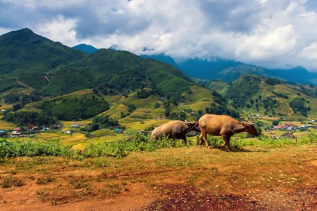 Grüne reisfelder an terassenförmig angelegt in muchangchai, vietnam reisfelder bereiten die ernte am nordwesten vor