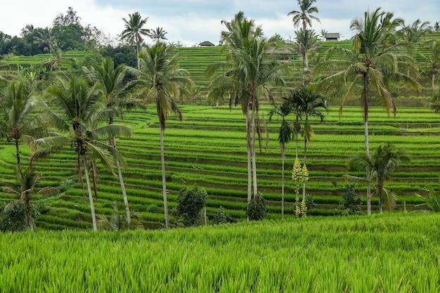 Grüne reisfelder jatiluwih auf der insel bali sind unesco-weltkulturerbe. es ist einer der empfohlenen orte auf bali mit der spektakulären aussicht, reisen in asien
