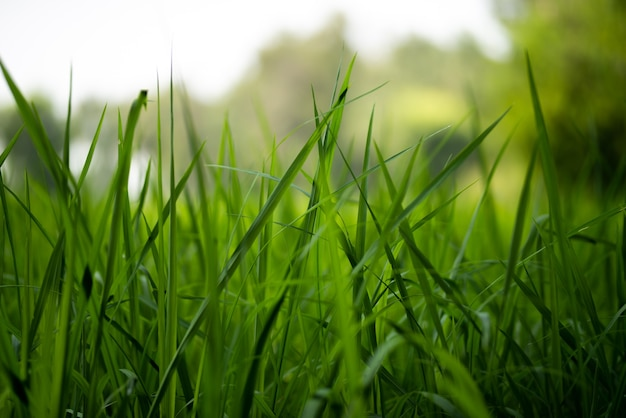 Grüne reispflanzen auf dem feld