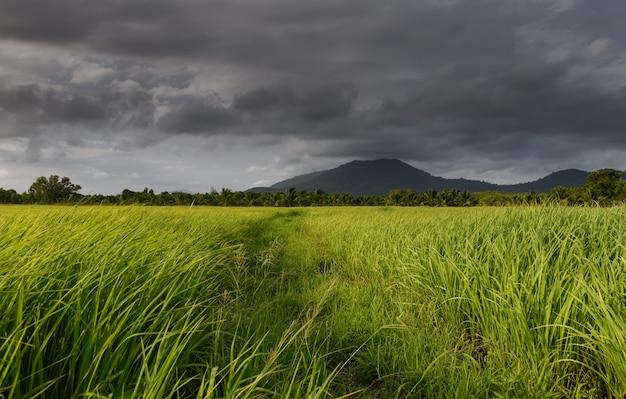 Grüne reiswiese oder grünland mit regenzeitwolkenhimmel.