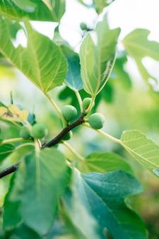 Grüne rohe feigen auf dem zweig eines feigenbaums