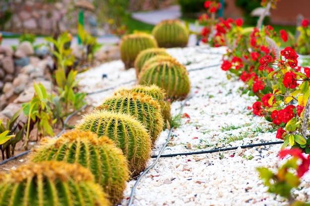 Grüne runde tropische kaktuspflanzen mit scharfen stacheln, die auf einem boden wachsen, der mit kieselsteinen draußen in einem park bedeckt wird