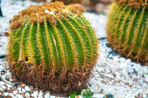 Grüne runde tropische kaktuspflanzen mit scharfen stacheln