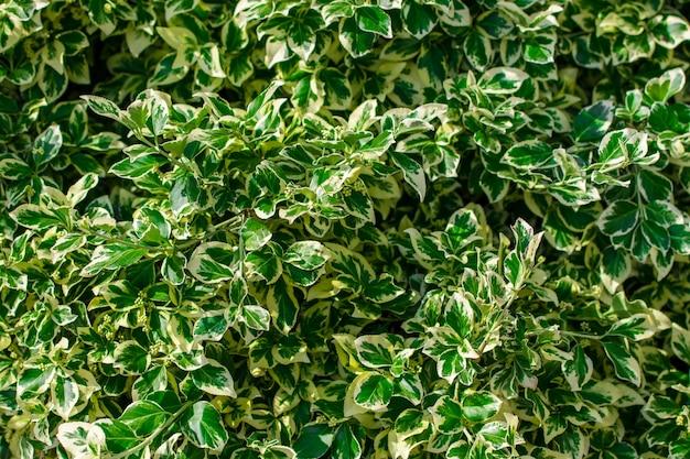 Grüne saftige blätter als sommerhintergrund, landschaftsdesign.