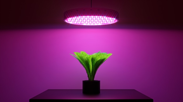 Grüne salatpflanze unter led wachsen licht