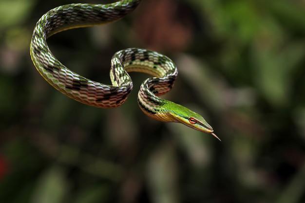 Grüne schlange, asiatische weinschlange, ahaetulla nasuta