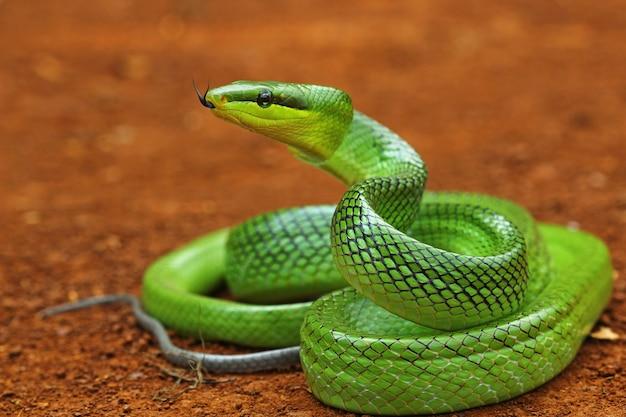 Grüne schlange bereit anzugreifen Premium Fotos