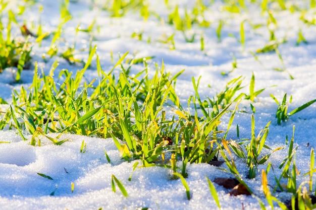 Grüne sprossen des winterweizens unter schnee bei sonnigem wetter