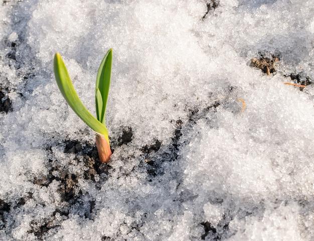 Grüne sprossen von knoblauch, die durch den schnee wachsen