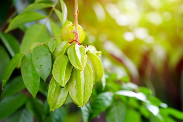 Grüne stachelbeere ist eine gruppe von bäumen, die in thailand früchte tragen und gesundheitliche vorteile haben.
