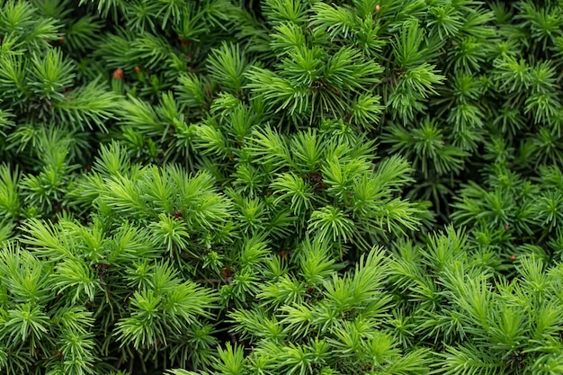 Grüne stachelige zweige eines pelzes oder einer kiefer im hintergrund.