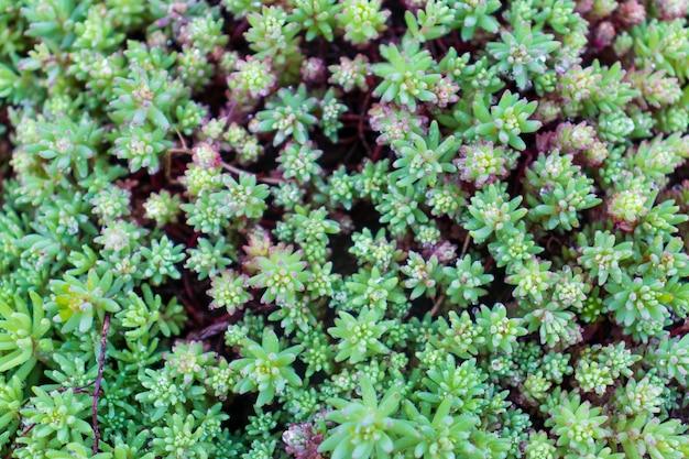 Grüne strauchhecke, frische grüne blätter für texturhintergrund. üppige vegetation nahaufnahme, horizontales foto.