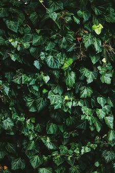 Grüne strauchwand als pflanzentextur-naturhintergrund und botanisches design