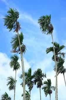 Grüne sugar trees, die im wind unter blauem himmel von thailand durchbrennen