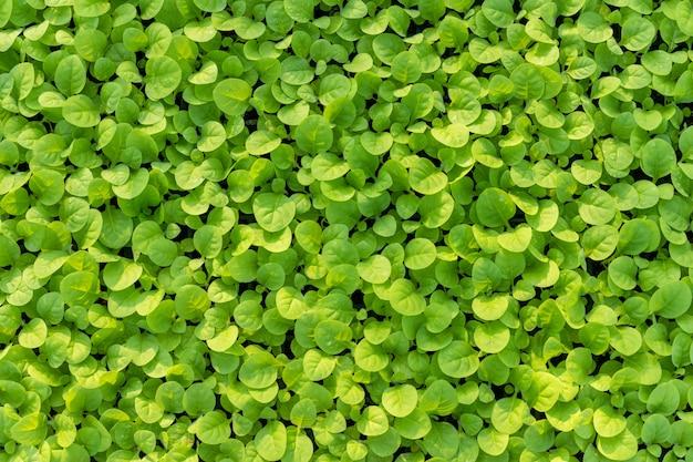 Grüne tabakblätter auf dem gebiet