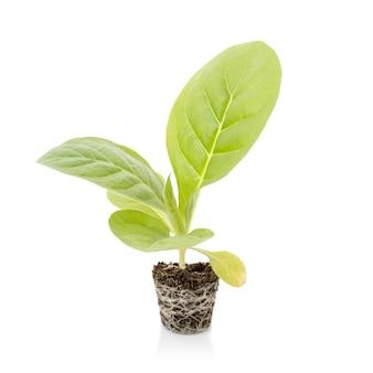 Grüne tabakpflanze mit boden