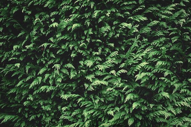 Grüne tannenhintergrundbeschaffenheit. naturhintergrundtapete