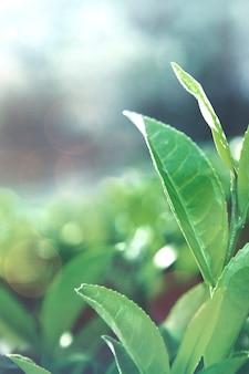 Grüne teeblätter auf einem feld