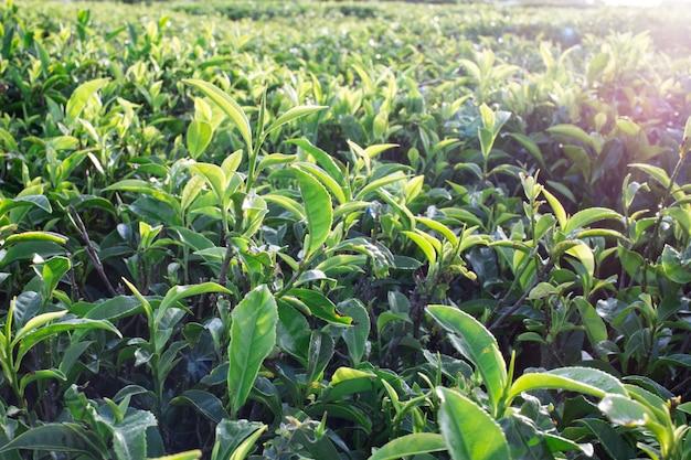 Grüne teeblätter auf teeplantagen. selektiver weicher fokus. frische teeblätter im morgensonnenlicht.