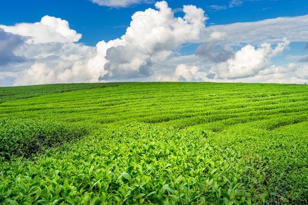 Grüne teeknospe und blätter. grüntee-plantagen am morgen. naturhintergrund.