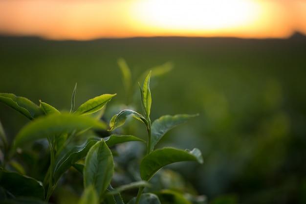 Grüne teeknospe und frische blätter. teeplantagen.