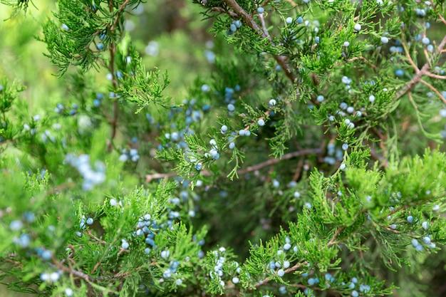 Grüne thuja- oder wacholderbuschbaumaste mit beeren schließen oben