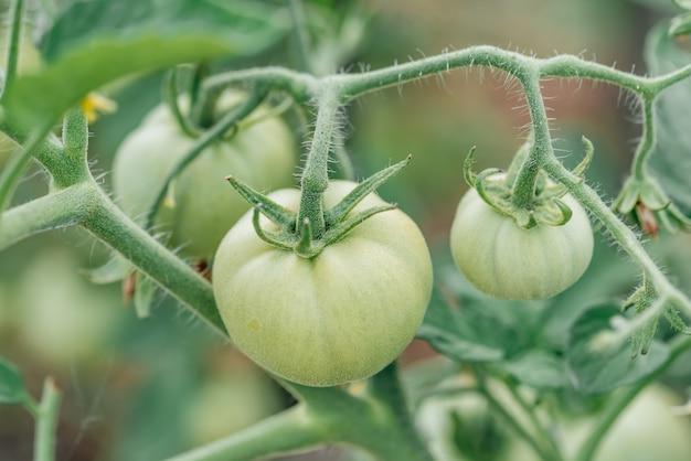 Grüne tomaten an den zweigen. sommerernte des bauern im garten.