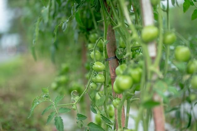 Grüne tomaten hängen in einem bund und reifen in einem garten