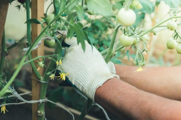 Grüne tomaten im garten. an stifte gebunden. hände des gärtners banden tomatenpflanze im gewächshaus zusammen.