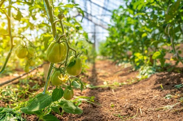 Grüne tomaten in einem gewächshaus reifen in der sonne auf dem bauernhof