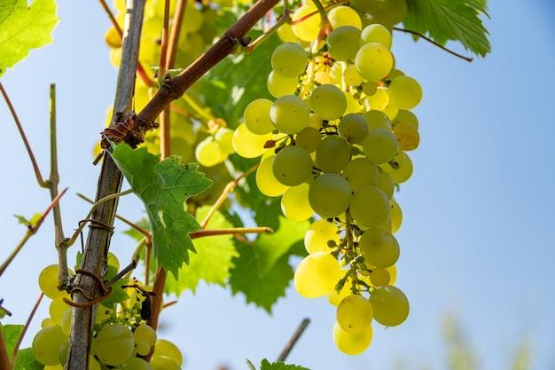 Grüne trauben am rebstock. bündel grüner trauben, die auf der rebe wachsen