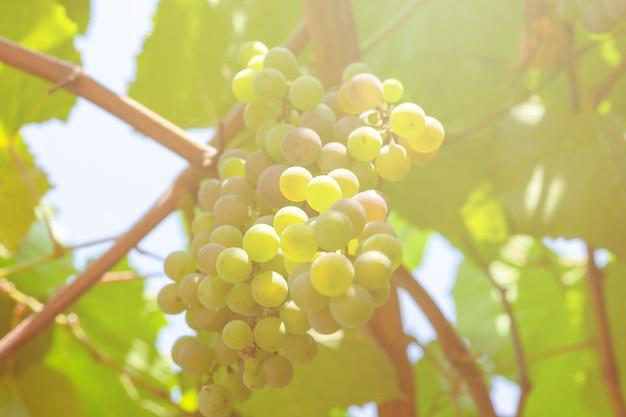 Grüne trauben auf meiner farm