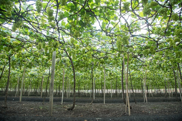 Grüne trauben hängen an einem busch, damnoen saduk, provinz ratchaburi. thailand