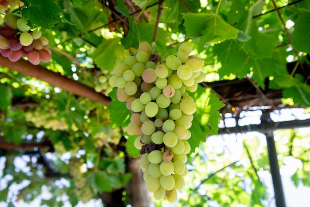Grüne trauben im weinberg