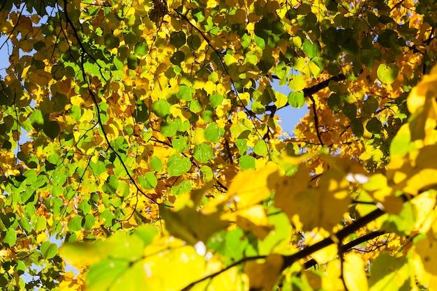 Grüne und gelbe lindenblätter in der herbstsaison. fokus auf den vordergrund.