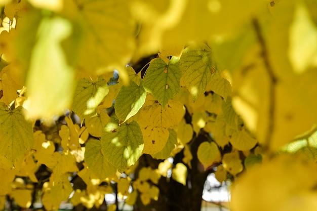 Grüne und gelbe nuss verlässt auf einem unscharfen vordergrund des bunten gelben laubs auf den bäumen