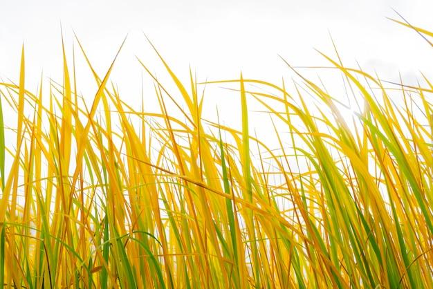 Grüne und gelbe stängel von hohem gras