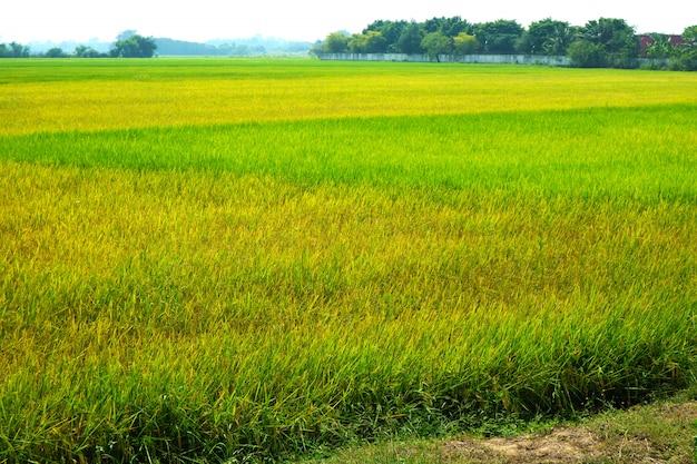 Grüne und goldene landwirtschaft jasminreisfarm und weicher nebel in der weißen wolke des blauen himmels des morgens