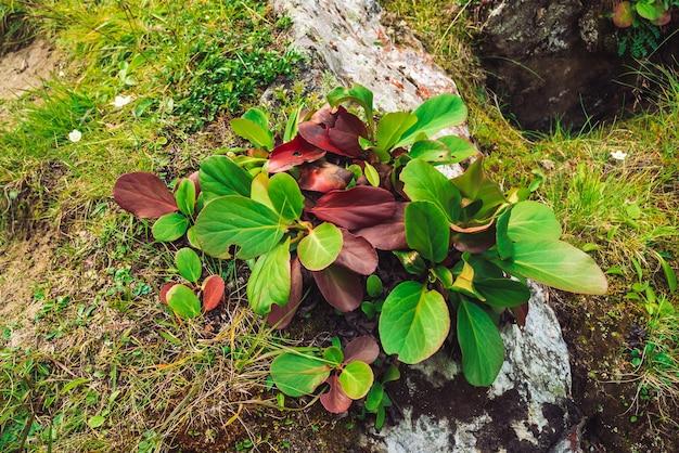 Grüne und rote blätter von bergenia crassifolia schließen. erstaunliche pflanze wächst auf felsen mit kopierraum.