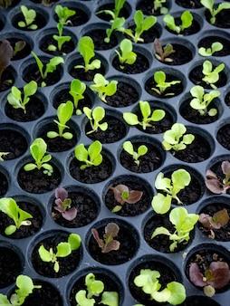Grüne und rote kopfsalatsämlinge eine gartenbauliche baumschule