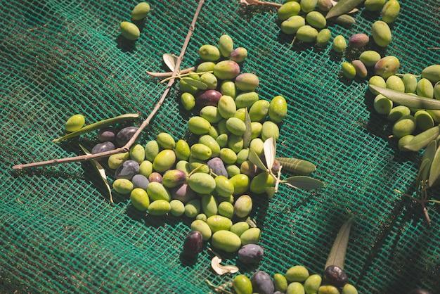 Grüne und schwarze frische oliven im netz. ernte in ligurien, italien, taggiasca oder caitellier. getöntes bild.