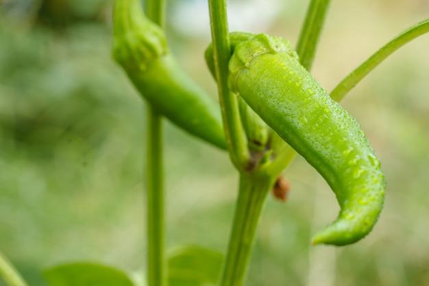 Grüne unreife chilischoten mit wassertropfen auf dem gartenbett. bio-lebensmittel aus eigenem anbau, paprika oder paprika, die im garten reifen.