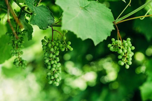 Grüne unreife weintrauben gruppieren sich im weinberg, weinbau, weicher selektiver fokus.