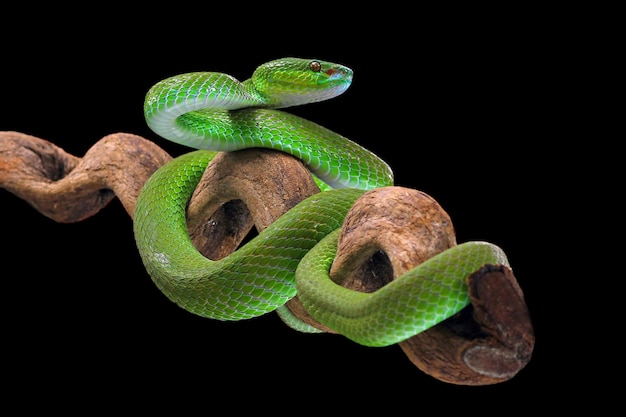 Grüne vipernschlange auf schwarzem hintergrund giftige und giftige schlange