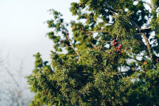 Grüne wacholderbuschzweige im sonnenlicht, hintergrund